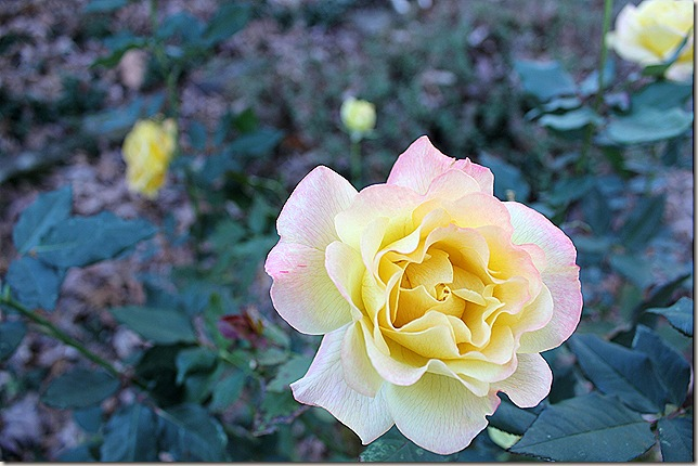 Beautiful yellow rose with pin tips