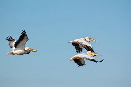 Pelicani in zbor.jpg