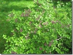 mini lilac2