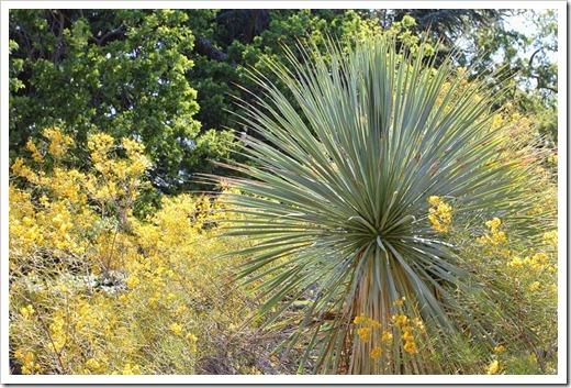 Yucca-rostrata- -Cassia-artemisioides_01