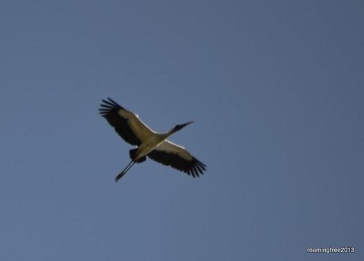 Wood Stork?