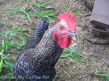 Chicken Closeups  last week Nov 2011 001