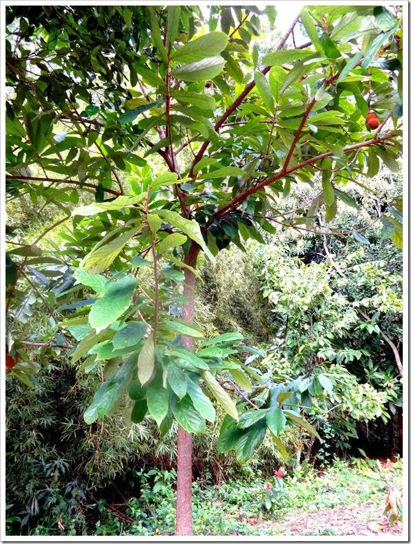Árvore de Cupuaçu