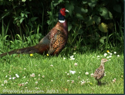 9 baby-pheasant-and-dad
