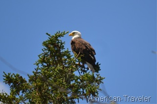 eagle-mi