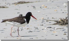 Oystercatcher on Bear Island