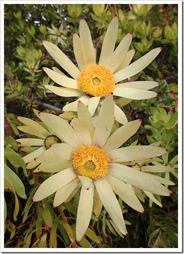 120211_UCSC_Arboretum_Leucadendron-discolor-Cloudbank-Ginny_06