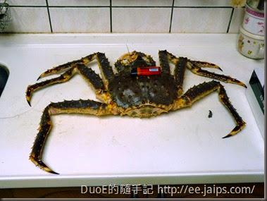 北海道巨無霸帝王蟹-大小比例1