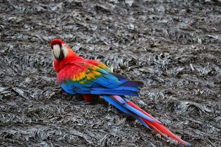 Jungla amazoniana: Papagalul Toto