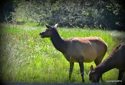 Female Elk in another meadow