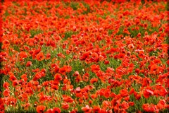Poppy-Fields-6