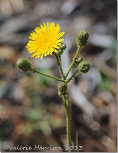 4-Perenial-sow-thistle