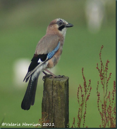 4 jay-on-post
