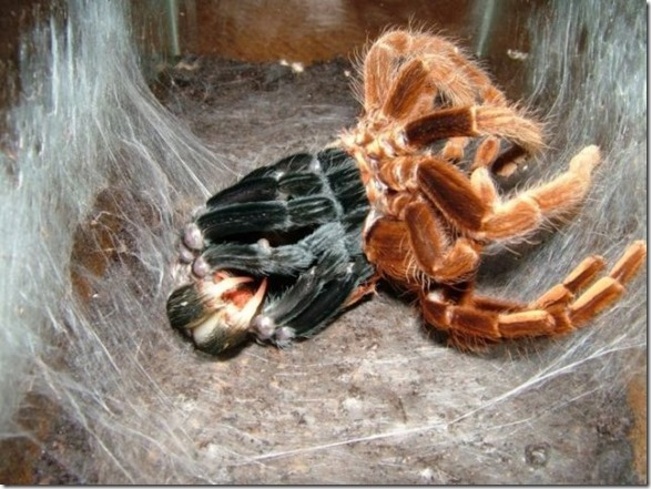 giant-largest-spider-10