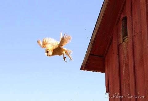 2 Barn-Owl-KAC0152