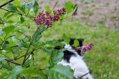 Late lilac blooming June 14