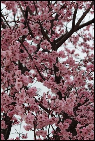 Cherry Blossom_3