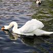 Public Garden swans in Boston