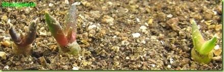 Ariocarpus furfuraceus Matehuala - SLP-2011-11-22_00021IMG_7920