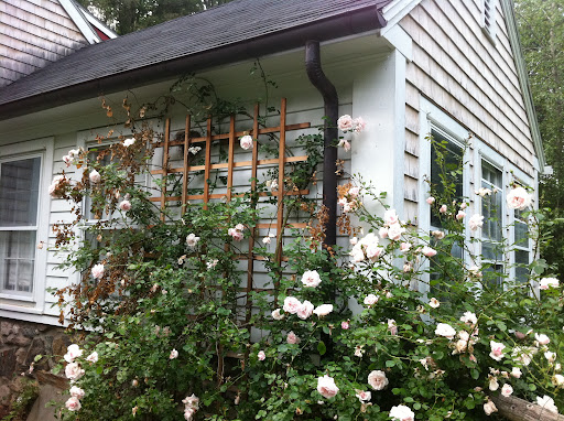My beautiful trellis with climbing roses