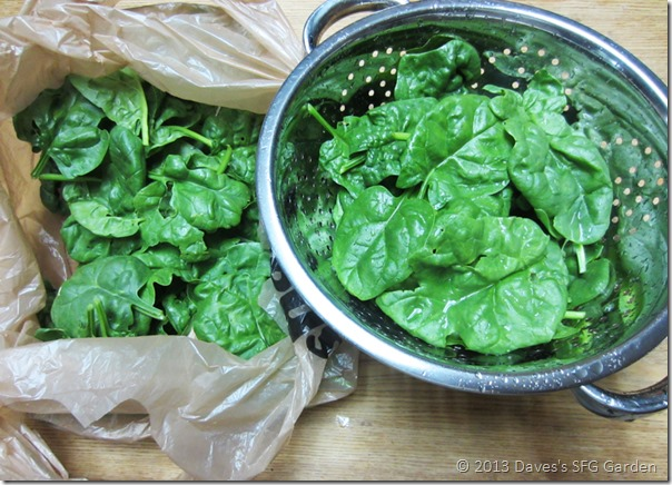 spinach_hravest