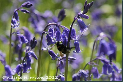bumblebee-on-bluebells