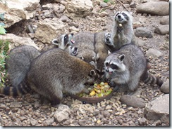 2004.08.25-055 ratons-laveurs