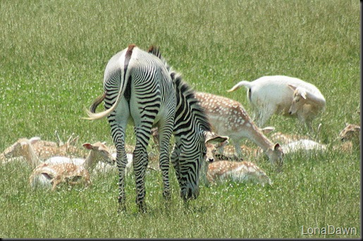 Safari_Zebra_Grevys