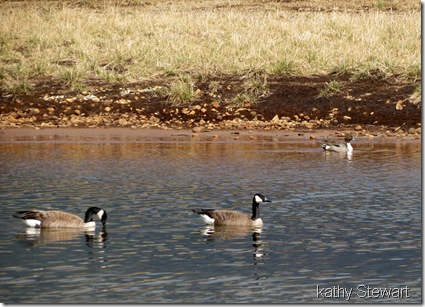 Canada Geese and Pintail