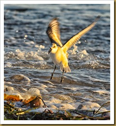 untitled Sanderling landingD7K_8068 November 03, 2011 NIKON D7000