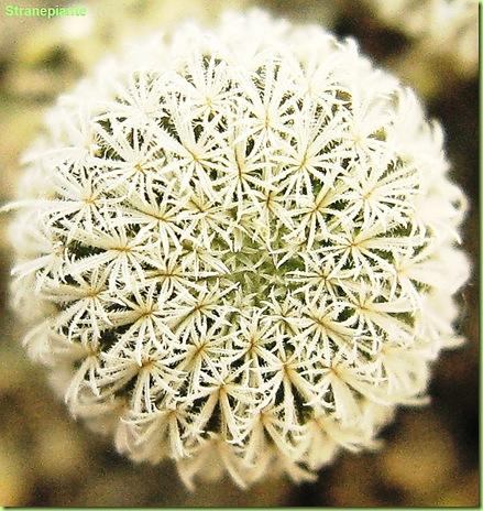 Epithelantha seedling
