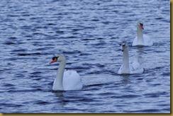 - Mute Swans D7K_1962 January 18, 2012 NIKON D7000