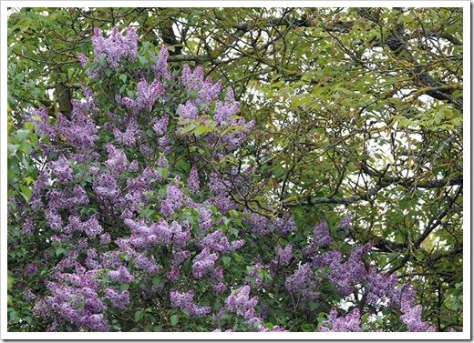 120506_lilac