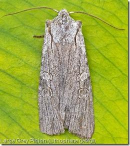 Large Grey Pinion (Lithophane georgii) (2)