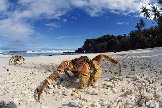coconut crabs photos