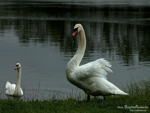 bird_20110724_swans