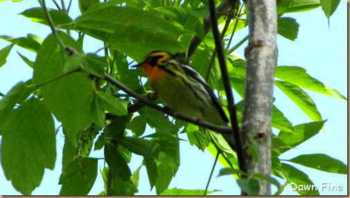 Blackburnian Warbler