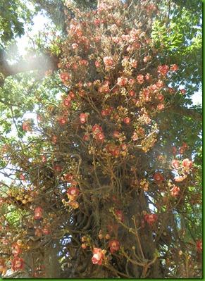 Couropia guianensis