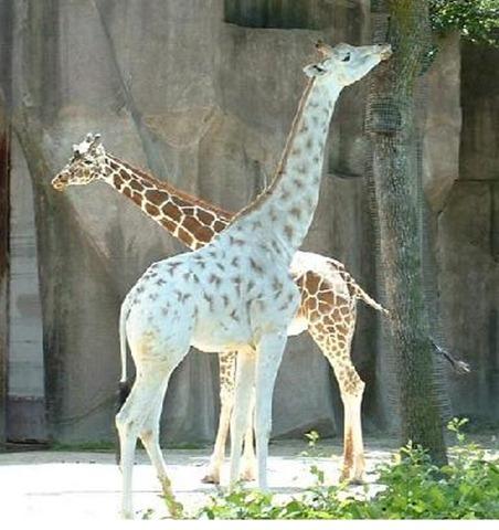 albino-giraffe2-pt