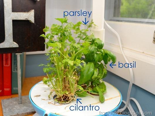 pruned cilantro in Aerogarden
