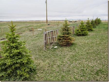 tree planting 723