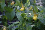 And look what else is up here.  Martha tells us they are Cypripedium or Lady's slippers.