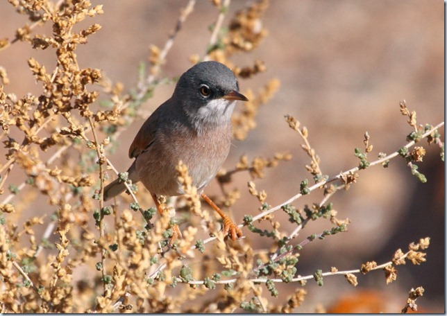 spectacled_warbler