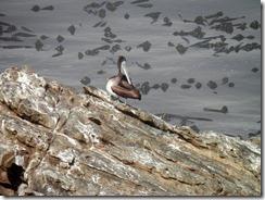 Pelican Ocean Cove