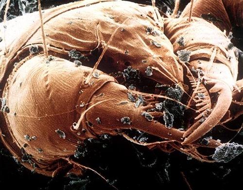 Acaro dermatofagoides