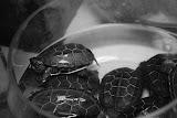 Shanghai - Pets market - Petites tortues