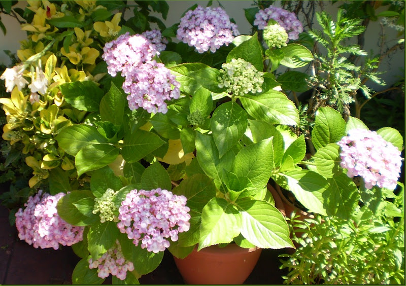 El jardinero urbano hortensias hydrangea mundos - Cuidados de las hortensias ...