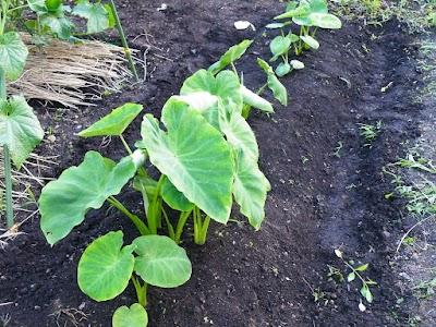サトイモの追肥土寄せ