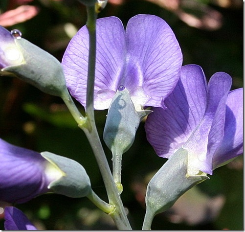 garden-baptisia-june08