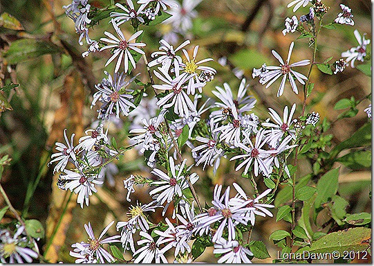 Ross_Lake_Asters
